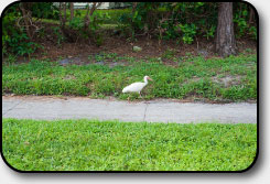 Even the ibis love to walk our neighborhood